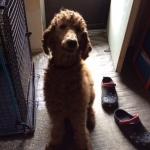 Why I Bought A Wheaten And Am Now Proud Of My Puppy Whoodles